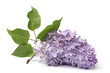 Branch of blooming lilacs