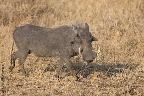 Photo  Warthog with big teeth walking among short grass