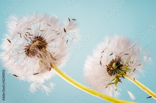 Dandelion clocks dispersing seed :)