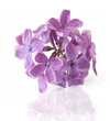 Lilac flowers branch isolated on white background