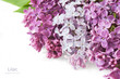 Lilac flowers bunch isolated on white background