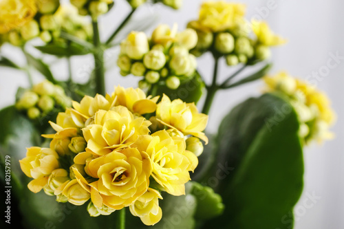Fotografie, Obraz  Kalanchoe blossfeldiana, commonly cultivated house plant