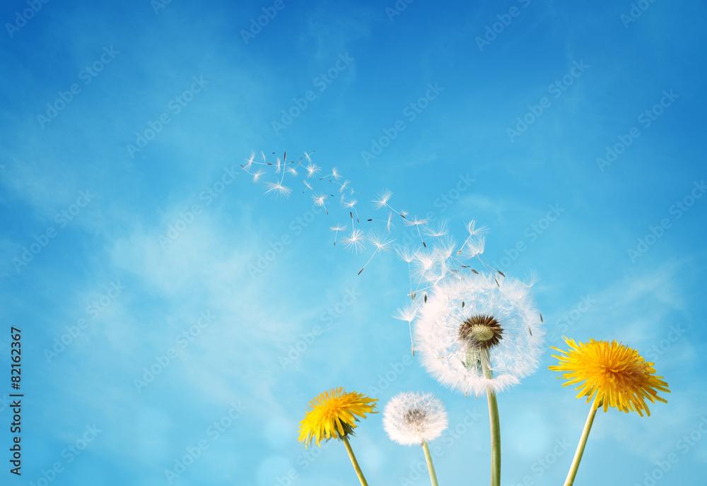 Fototapety, obrazy: Dandelion clock dispersing seed