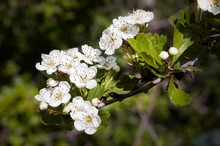 A Branch Of White Crataegus Monogyna Flowers, Also Known As Common Hawthorn Or Single-seeded Hawthorn Under The Warm Italian Sun