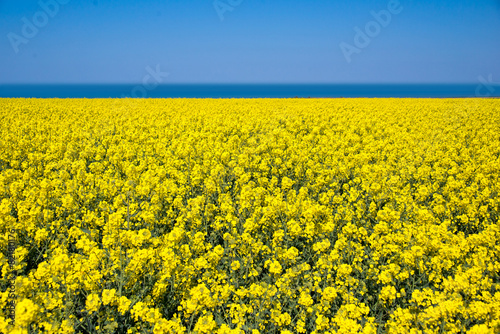 Poster Jaune Field of colza rapeseed flowers, sea and blue sky