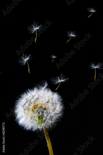 Fototapety, obrazy: fleur de pissenlit avec spores