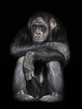 Common Chimpanzee (Pan Troglod...
