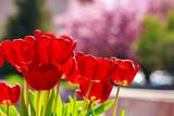 Czerwone tulipany na zamazanym tle