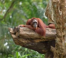 Adult Orangutan Resting On Tre...