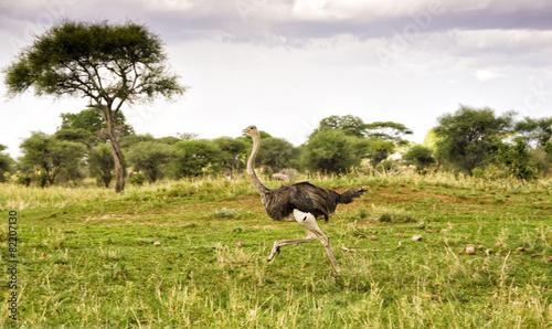 Tuinposter Struisvogel Running ostrich