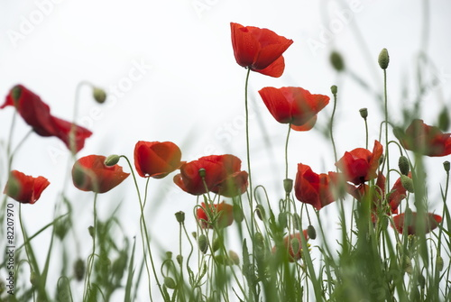 Poster Poppy Red poppies