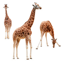 Three Giraffe In Different Pos...