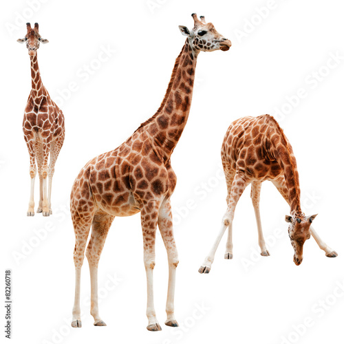 Three giraffe in different positions isolated with clipping path