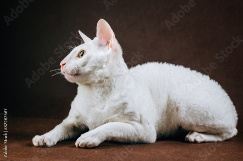 Photo  Portrait of  Cornish Rex Cat on Brown Background
