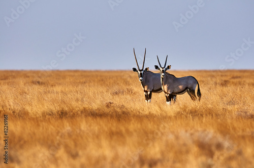 Tuinposter Antilope Two oryx in the savannah