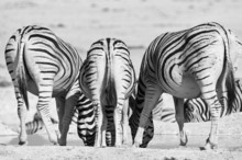 Three Zebras Photographed From Behind