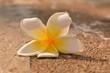 Plumeria flower on floor
