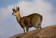 Klipspringer On A Rock