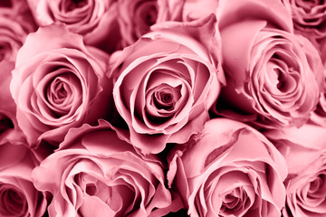 Close up of toned pink roses, background