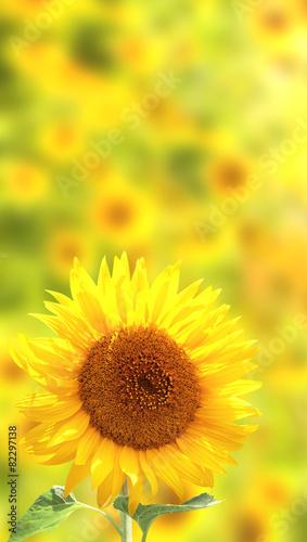 In de dag Zonnebloem Sunflowers on yellow background