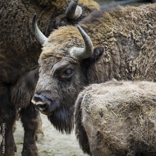 Fényképezés  Wisent, European bison, Poland