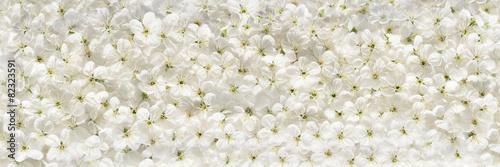 White cherry flowers panoramic background #82323591