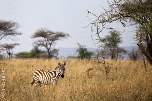 Zebra in the Serengeti - Tanzania Canvas Print