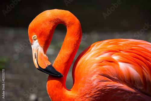 Papiers peints Flamingo American Flamingo