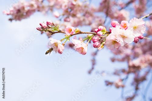 In de dag Kersen kirschblüten im frühling