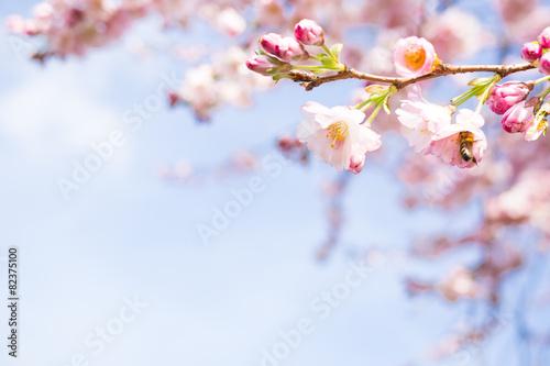 Cadres-photo bureau Fleur de cerisier knospen vom kirschblüten