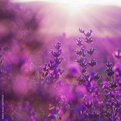 kwiaty lawendy polowej