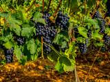 Toskania, Włochy,  winnica tuż przed zbiorem winogron