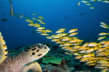 Sea Turtle And School Of  Yellow Fish.