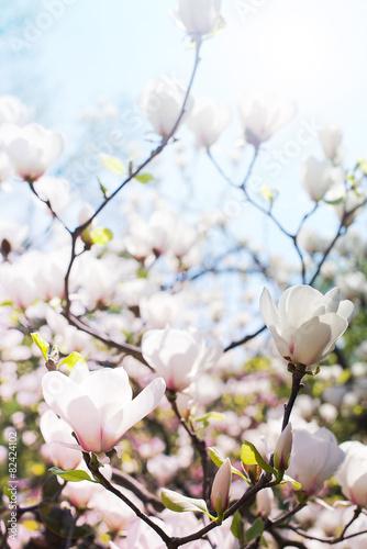 biale-wiosenne-kwiaty-magnolii