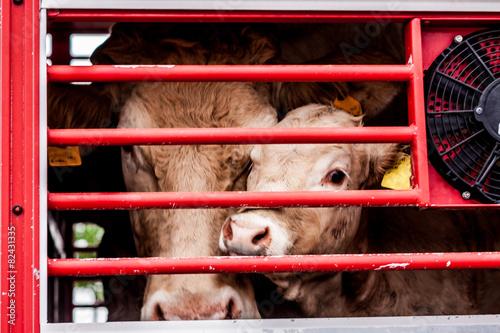 Fotografia  pleading eyes of cows behind fence