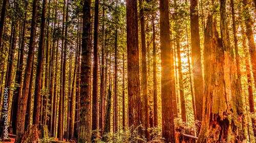 Foto op Plexiglas Landschappen Redwood Sun