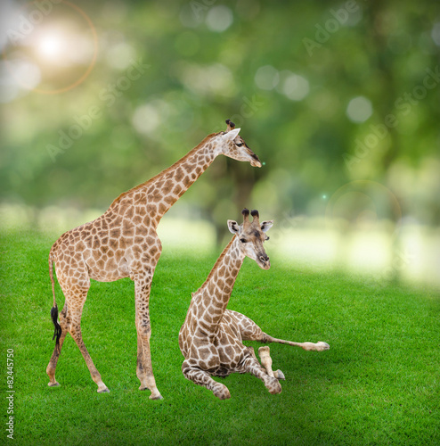 Fototapety, obrazy: Giraffes standing and sitting on green field