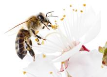 Honeybee And White Flowers