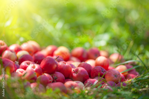 fototapeta na szkło Czerwone jabłka na trawie w słoneczny dzień