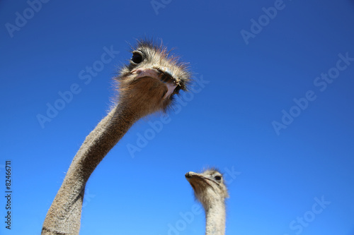 Staande foto Struisvogel Ostriches in Oudtshoorn. South Africa