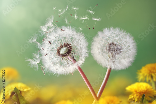 Poster Paardenbloem Dandelion clock in morning light