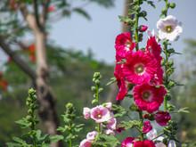 Hollyhock Flower