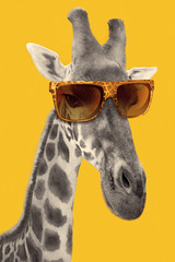 FototapetaPortrait of a giraffe with hipster sunglasses