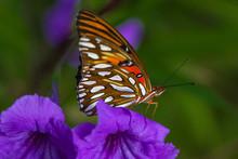 Gulf Fritillary On Purple Flower