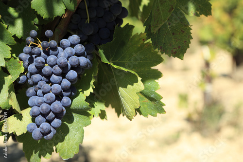 Fotografie, Obraz  Red wine grapes growing in a vineyard.