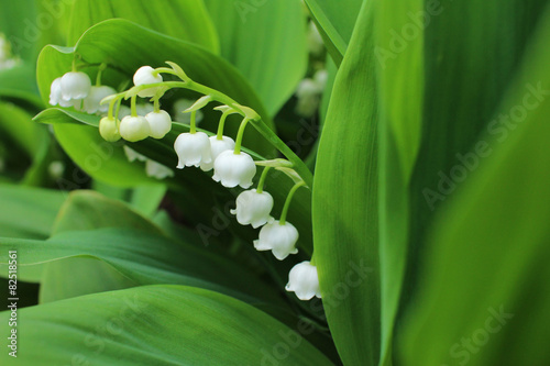 Foto op Canvas Lelietje van dalen Lily of the valley, which bloom in the garden