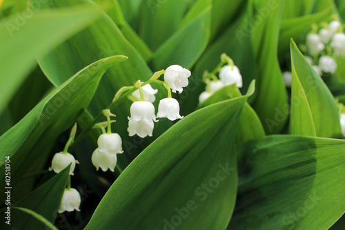 In de dag Lelietje van dalen Lily of the valley, which bloom in the garden
