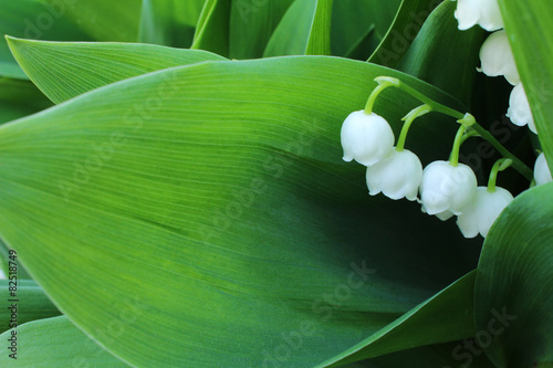 Wall Murals Lily of the valley Lily of the valley, which bloom in the garden