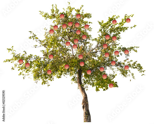 apple tree with large pink fruits on white