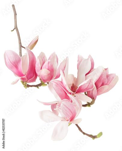 Plakat Magnolia, wiosna menchie kwitną gałąź i pączki na bielu, ścinek ścieżka